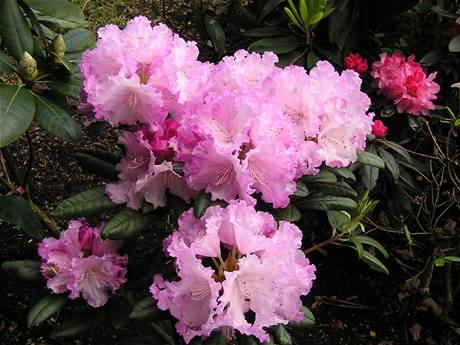 Ako na Rododendróny a Azalky?